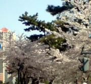 20110410_hananomichi