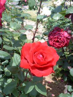 あっちもこっちも薔薇でいっぱい。